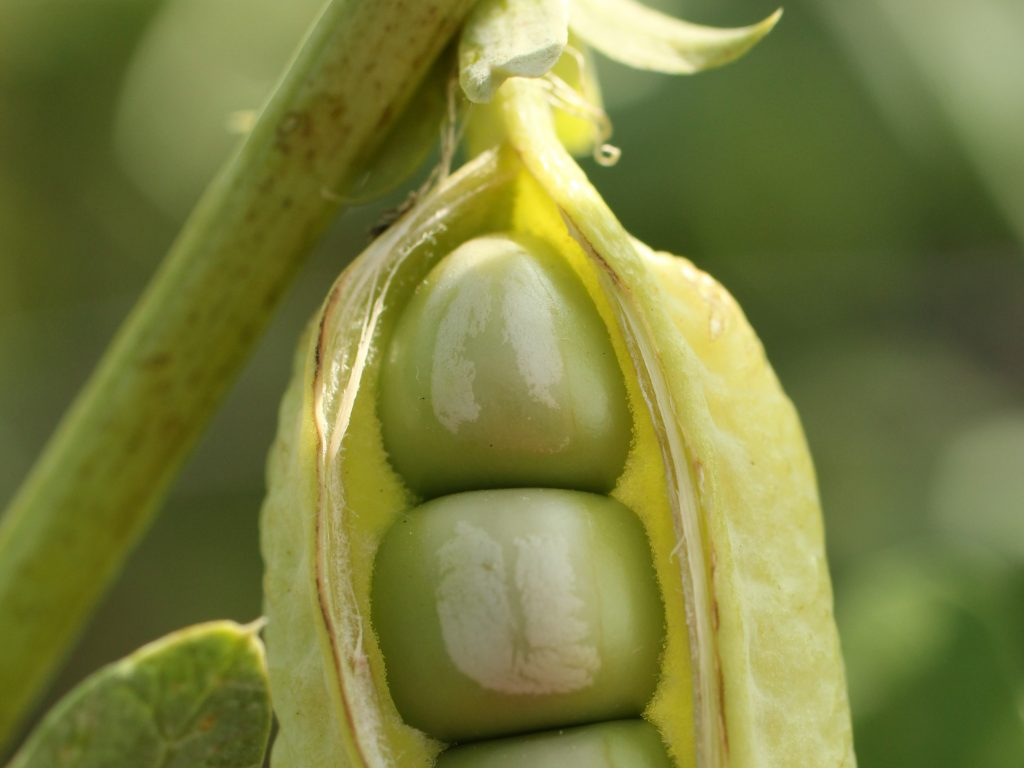 Peas in the pods