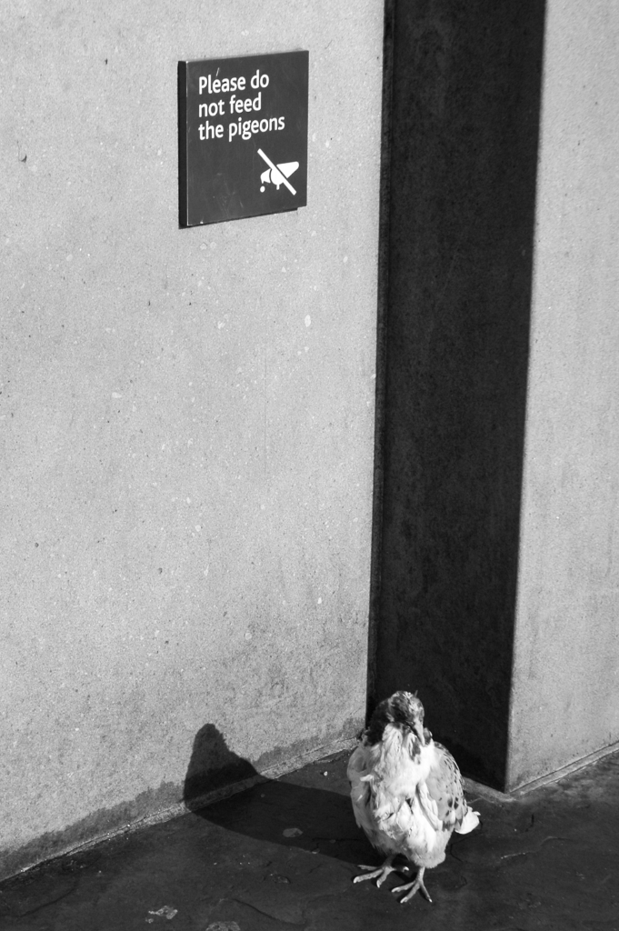 """Pigeon under a """"no feeding pigeons"""" sign"""